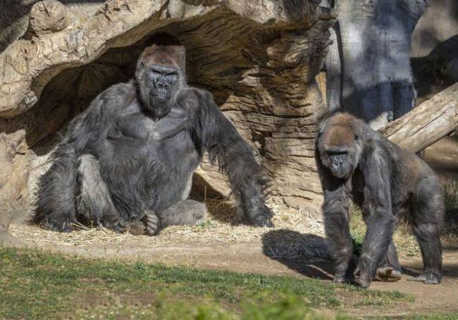 Zoo Atlanta Reveals 13 Gorillas Tested Positive For COVID-19